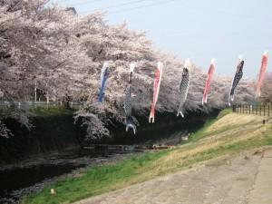 満開の 桜と泳ぐ 鯉のぼり