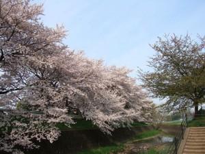 早咲きの 桜は既に 花もなし