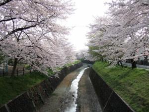 葉桜を 隠すが如く 枝を伸ばす