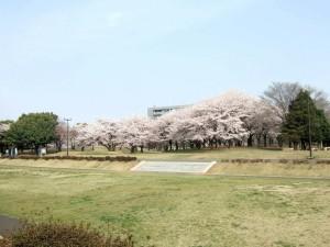 早朝に 桜の花を 独り占め