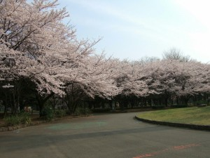 見渡せば どこもかしこも 桜色