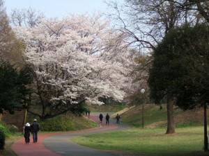 広々と 枝を広げた 桜の木