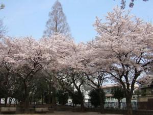 振り向けば 桜の背には 青空が