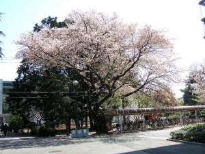 意外にも 見頃の桜が ありました