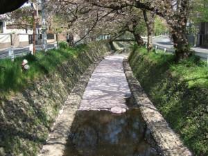 川面には 桜の花が 満々と