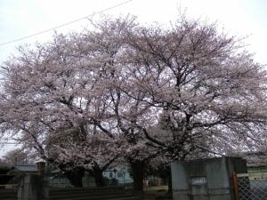 迷子中に出会った桜