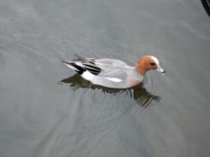 湖畔水鳥の郷公園 カルガモ