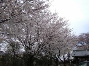 2012年花見_長福寺