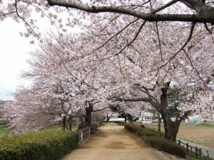 2012年花見_小畔水鳥の郷公園1