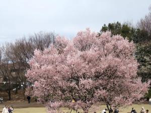 2012年花見_御伊勢塚公園2