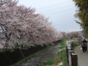 2012年花見_桜並木