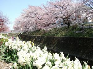 2012年花見_近所3