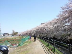 2012年花見_近所4