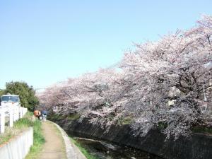 2012年花見_近所5
