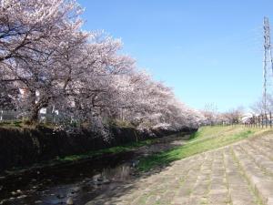 2014_桜1