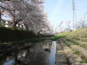 桜と鴨と鯉のぼり