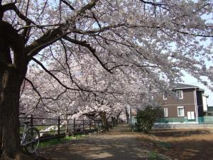 桜のトンネルっぽい所